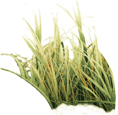 photo  tall grass png   icons  png