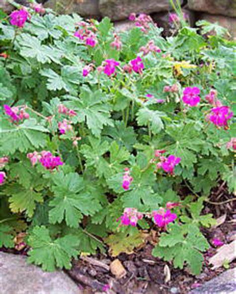 stauden stöcker balkan storchschnabel geranium macrorrhizum