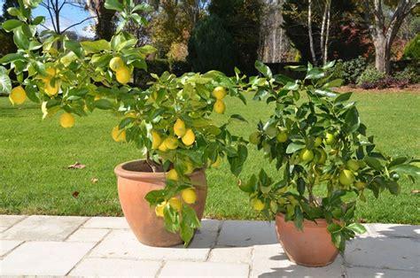 coltivare agrumi in vaso coltivazione agrumi frutteto coltivare gli agrumi