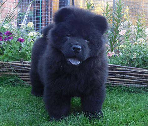 blue chow chow puppies chow chow puppies blue www pixshark images galleries with a bite