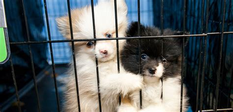 pet store puppies three ways to get involved during no pet store puppies day aspca