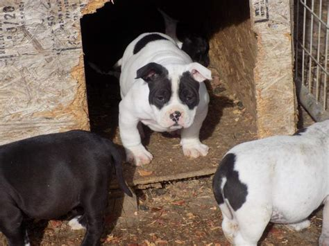 how to deworm a puppy why deworming is important to your bully s health american bully daily