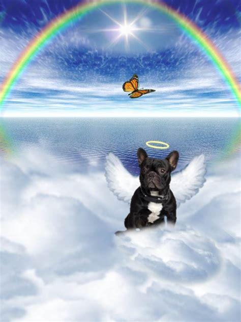 boston terrier angel pictures   images  facebook tumblr pinterest  twitter