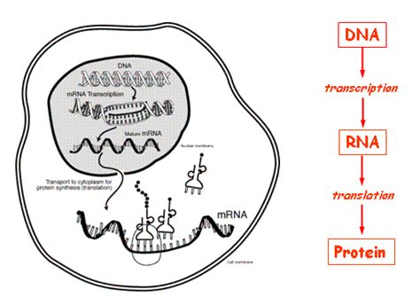 biography definition in biology what is central dogma biochemist01