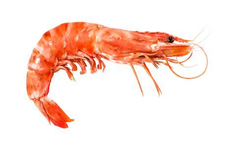 climate change could threaten sweden s shrimp eye on the