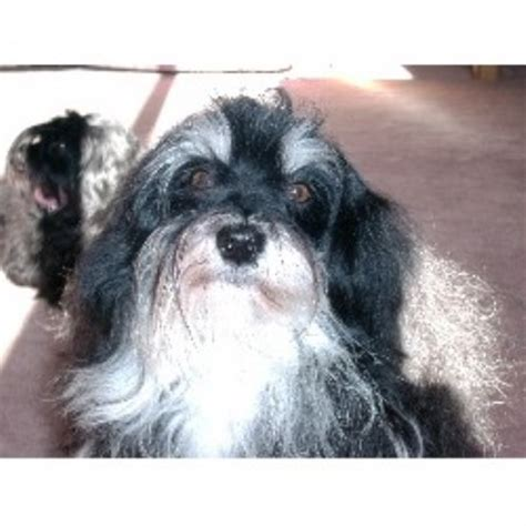 havanese rescue indiana midnight s havanese havanese breeder in lockport new york