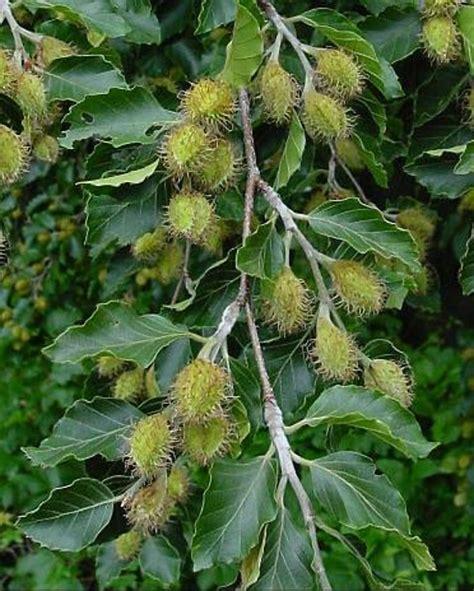 fagus sylvatica fagus sylvatica european beech go botany