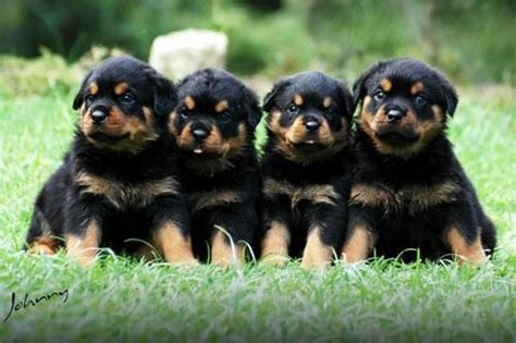 i want to buy a rottweiler 25 best ideas about rottweiler puppies on baby rottweiler rottweiler