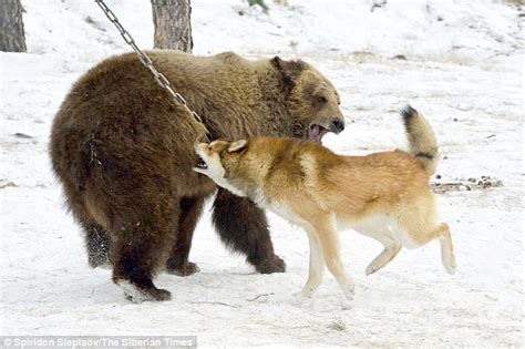 dogs used to hunt bears shows russia s baiting stations daily mail