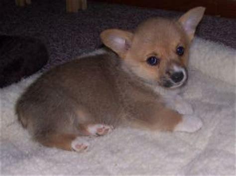 corgi puppies raleigh nc pembroke corgi puppies in new mexico