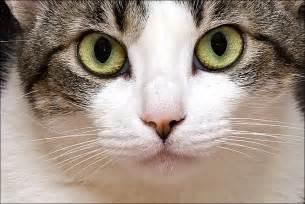 imagenes de ojos verdes de gatos 191 c 243 mo lavar los ojos de mi gato