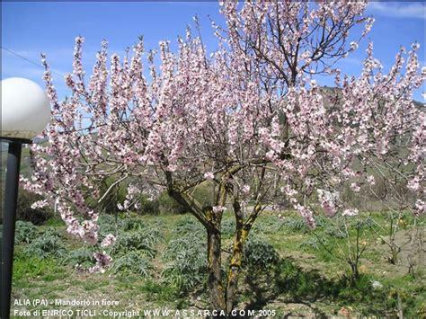 foto mandorlo in fiore mandorlo in fiore natura piante ed animali