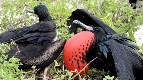 frigate birds mating calls and behavior galapagos
