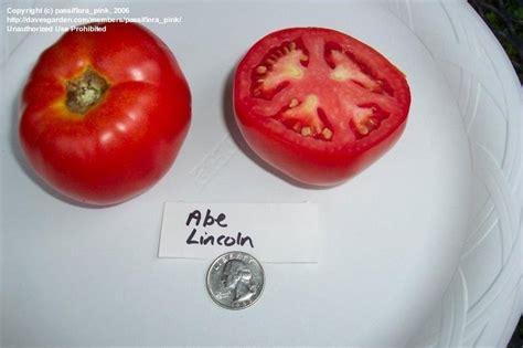 abraham lincoln tomato plantfiles pictures tomato abraham lincoln