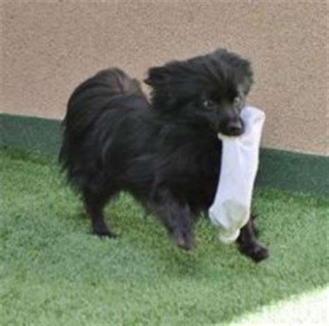 schipperke pomeranian mix simba schipperke pomeranian mix an adoptable in san mateo ca small