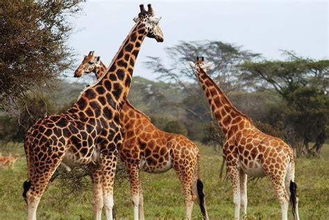 imagenes con jirafas cae poblaci 243 n de jirafas un 40 el independiente del sureste