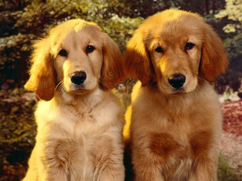 golden retriever and golden retriever resimleri