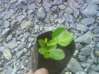 Harga Tray Semai Benih Padi benih pokok cili
