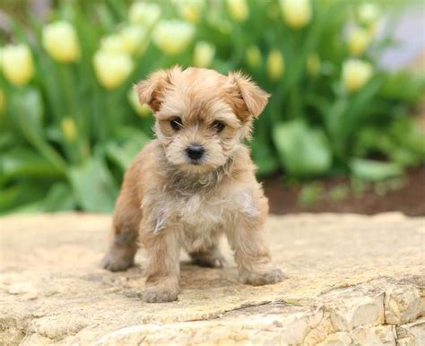 yorkies for sale in new mexico yorkie for sale new mexico breeds picture