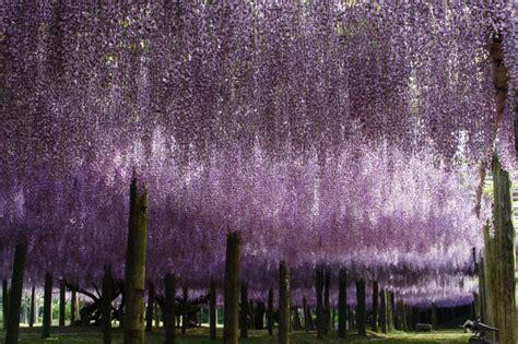 kawachi fuji gardens kawachi fuji gardens wisteria tunnel canuckabroad places