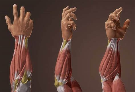 Grip United Grip Anatomy the ultimate forearm workout the 5 best forearm exercises for popeye arms