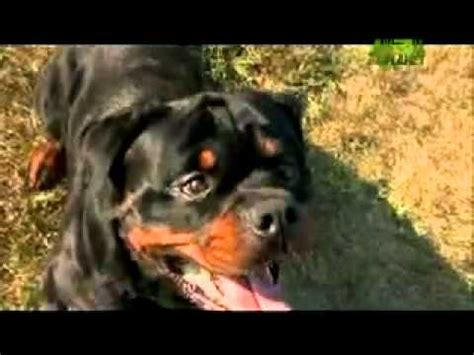 dogs 101 rottweiler animal planet dogs 101 rottweiler