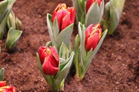 Tulpen Einpflanzen by Tulpen Pflanzen Wann Und Wie Sie Tulpenzwiebeln Richtig