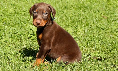 doberman puppy doberman pinscher my rocks