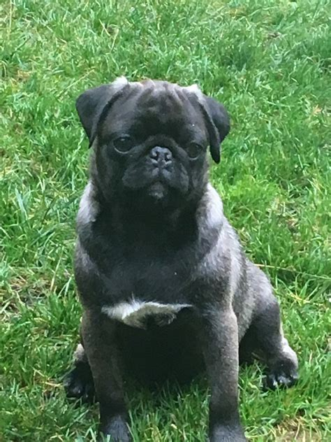 pugs for sale in sheffield pedigree pugs sheffield south pets4homes