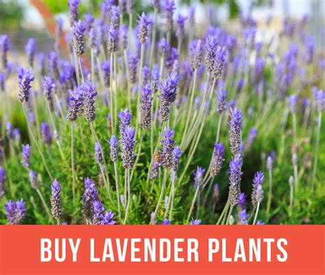 growing lavender planting caring for lavender plants