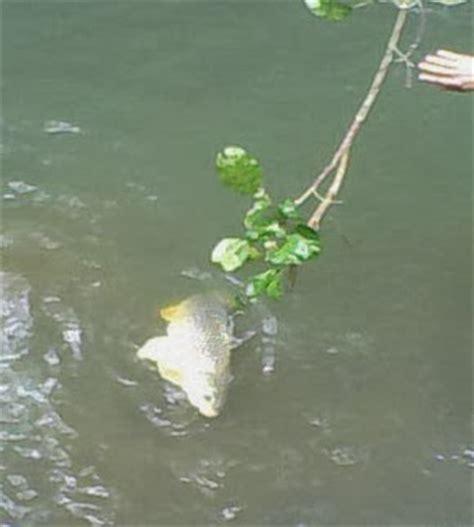 Pancing Wader anim agro technology ikan wader cara memancing