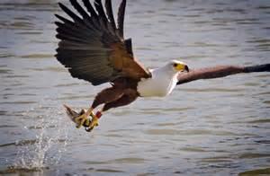 Elsen karstad s pic a day kenya african fish eagle lake baringo