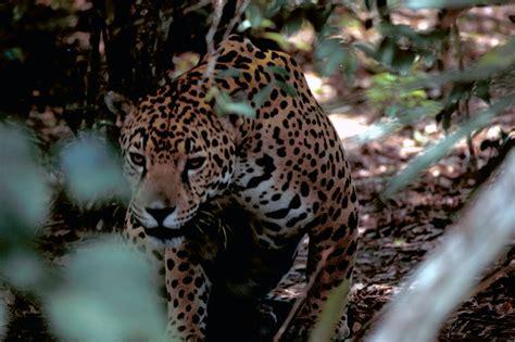 imagenes del jaguar panthera onca panthera onca