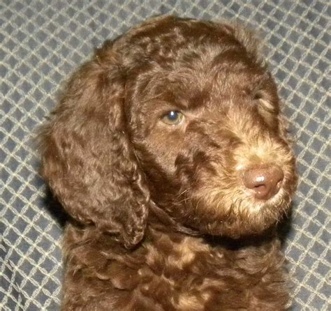 labradoodle puppies for sale indiana 1000 ideas about labradoodle puppies for sale on australian labradoodle