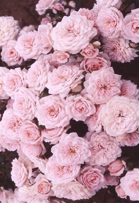 wallpaper for iphone roses roses iphone wallpaper wallpapers pinterest pink