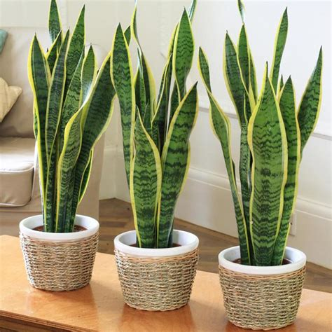 in s tongue in s tongue or snake plant indoor air purifying exoticflora