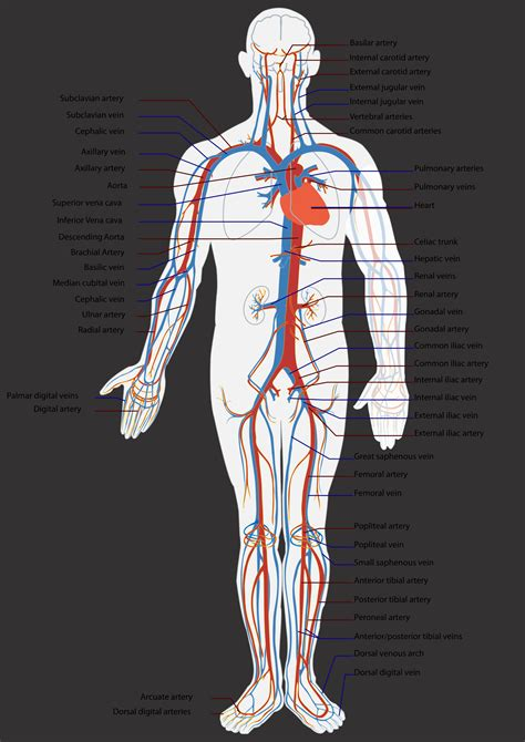 open  closed circulatory systems function