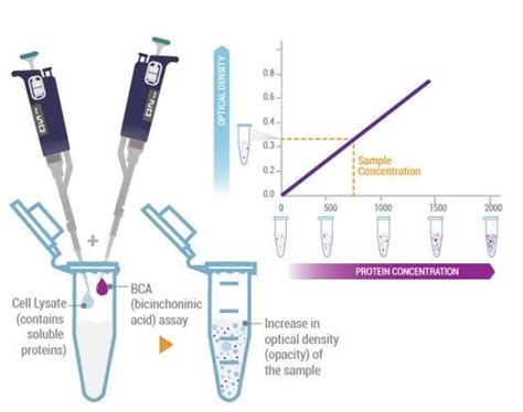 bca quantification total protein analysis western blot reagents products