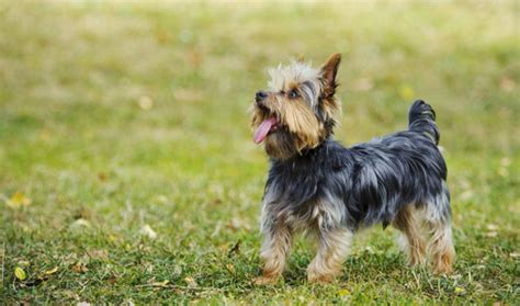 understanding yorkie behavior terrier breed information
