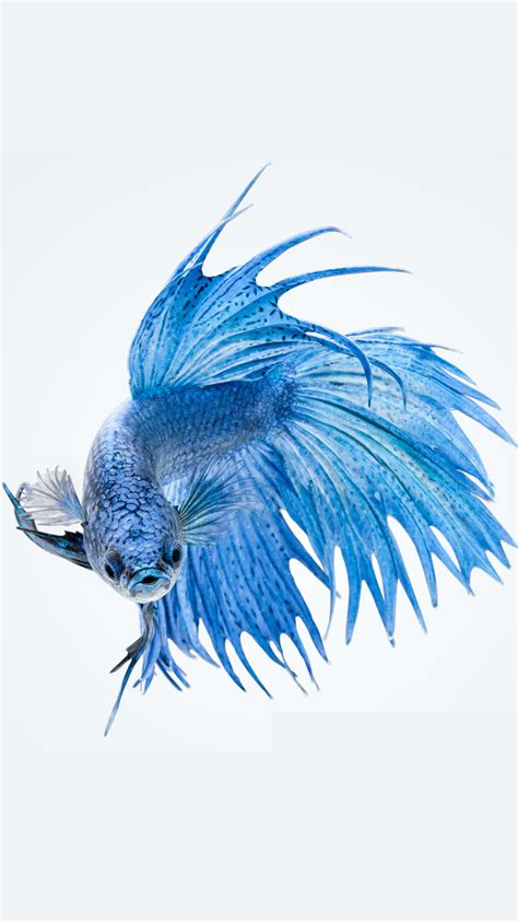 apple wallpaper betta fish apple iphone 6s wallpaper with blue betta fish in white