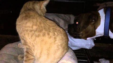 cats vs dogs io boxer vs cat