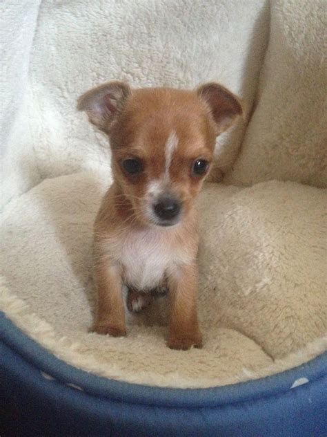 chorkie puppy chorkie boy puppy dagenham essex pets4homes