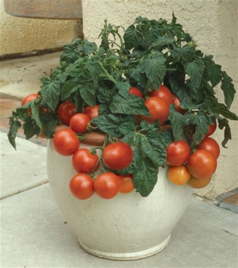 Patio Tomatoes Care growing tomatoes patio tomatoes growing outdoor tomatoes