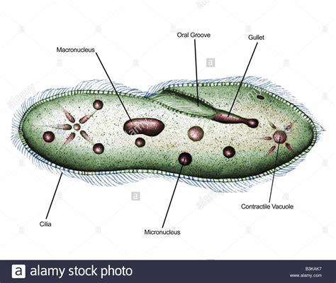 diagram of paramecium illustrated diagram of paramecium paramecium sp 1000x