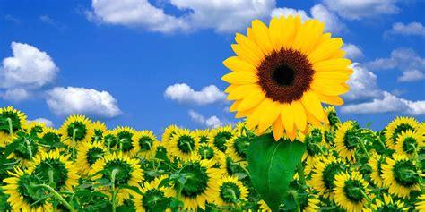 imagenes girasoles hermosos todo con las flores decorar crear degustar cuidar