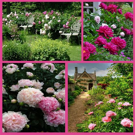 pink peonies nursery quot in the garden with kathryn quot think pink peonies