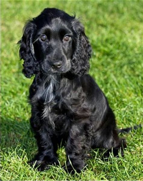 black cocker spaniel puppies william and kate get a new puppy prince william kate