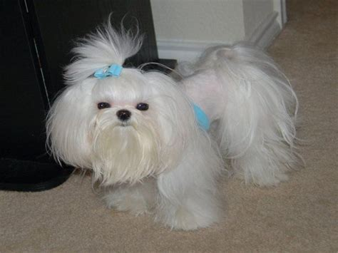 dog cut styles 5 haircut styles for a maltese tulsa pet grooming the
