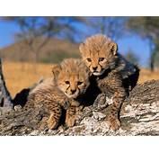 Cheetah Cubs Wallpaper Cheetahs Animals Wallpapers In Jpg