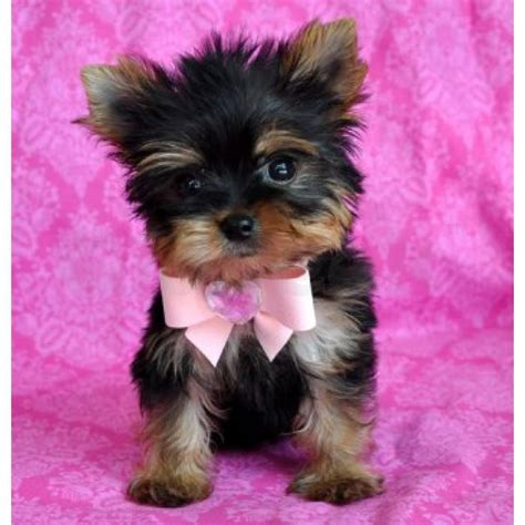 teacup yorkie puppies for sale in australia teacup yorkie puppies for sale australia dogs in our photo